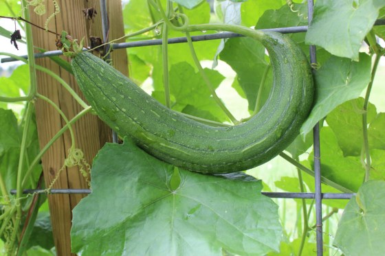Here is our giant luffa two weeks after the first picture.