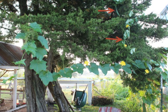 This year our vines have grown to about 30 feet in length and jumped into our cedar tree. If you trim vines you will get more fruit and you won't have to get a ladder to harvest them!