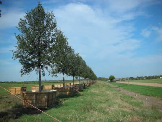 These 670 gallon oaks are indicative of the quality trees that the employees of Tree Town consistently produce