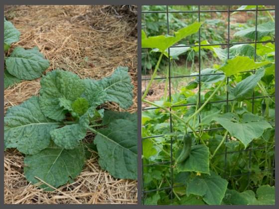 savoy-cabbage-growing