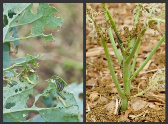 cabbage-worm