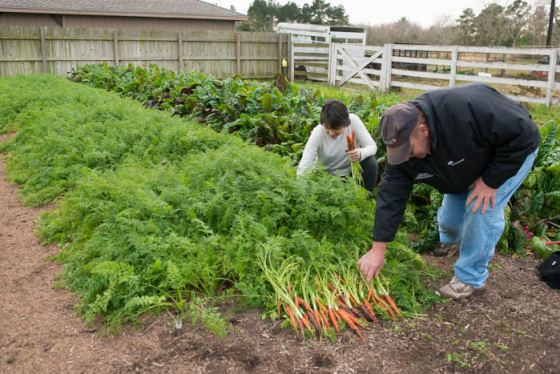 Carrots, celery, cilantro, dill, fennel, parsley, parsnips (Look at those impeccably groomed beds – my friend Paul is an engineer, and a master at creating and maintaining perfectly coiffed and rotated beds)