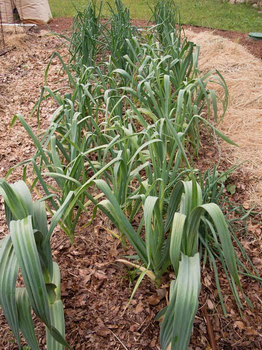 Chives, garlic, leeks, onions, shallots
