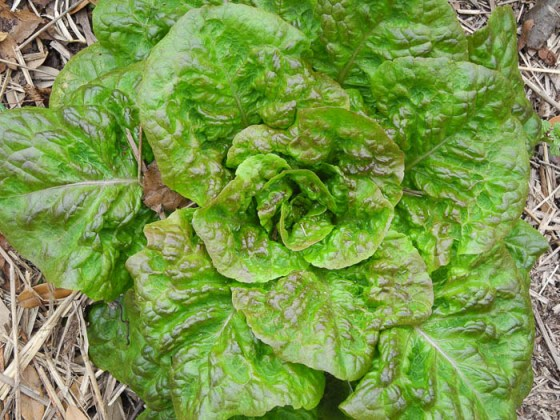 Crawford-Lettuce
