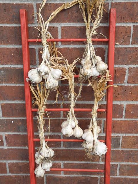 Texas-Rose-Garlic