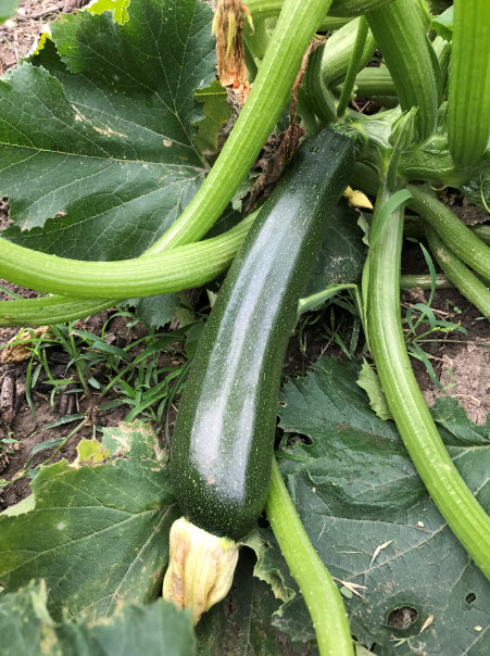 John loves growing beets but zucchini is a close second