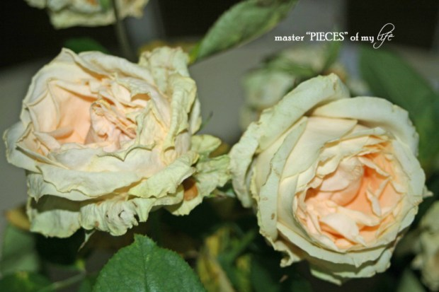 Faded blooms6