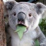Estamos matando a los Koalas?