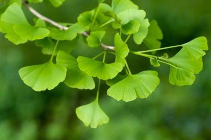 gingko-biloba-planta-medicinal