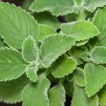 Mejora la salud de tu hígado con el boldo planta medicinal