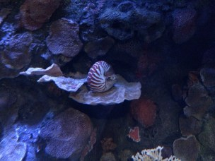 A sleeping Nautilus!