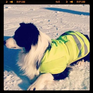 Superkeen shee(p)dog VeteranNM 2013