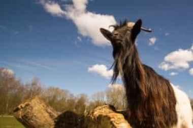la-cabra-siempre-tira-al-monte
