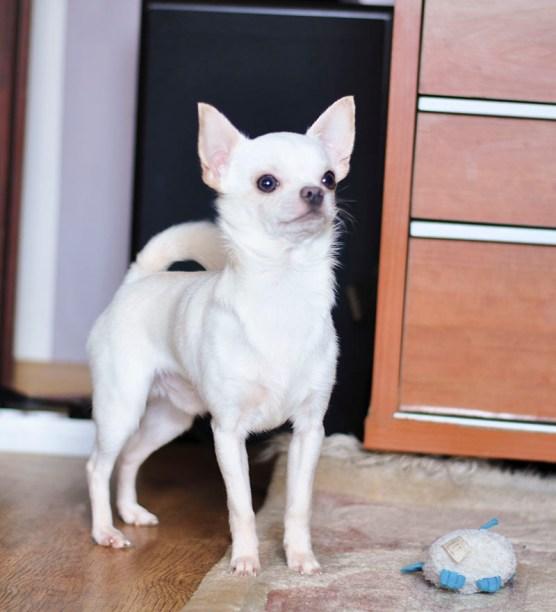 Hodowla Yorkshire Terrier i Chihuahua Master York FCI. Hodowca Katarzyna Wojarska. Orzesze Mikołów Katowice Śląsk.
