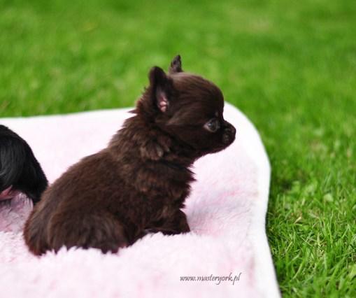 szczeniak chihuahua, na sprzedaż, hodowla Master York FCI