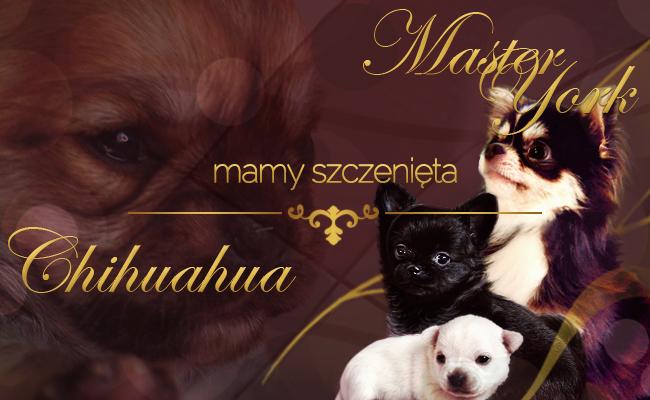 Szczenięta Chihuahua mioty na sprzedaż szczeniaczki