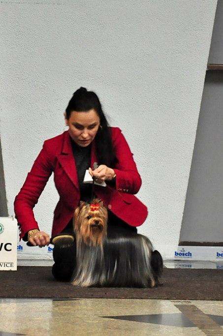 Krajowa Wystawa Psów Rasowych-Katowice - Hodowla Master York