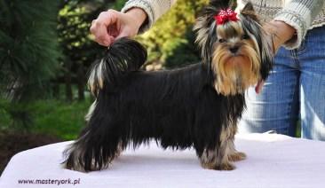 Szczenięta do sprzedaży Yorkshire Terrier - Hodowla Master York