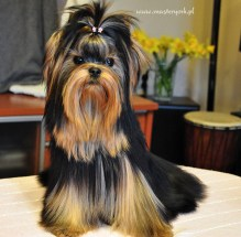 Szczenięta Yorkshire Terrier - Hodowla Master York
