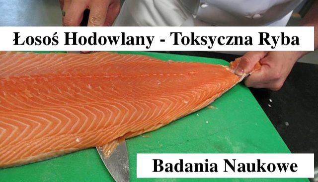 Łosoś hodowlany – jeden z najbardziej toksycznych ryb na świecie