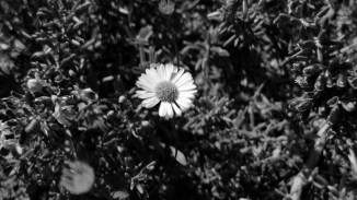 Wall daisy moving with wind.