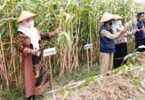 Ingin Kembangkan Tanaman Sorgum, Wabup Sumenep akan Siapkan Lahan 10 Hektare