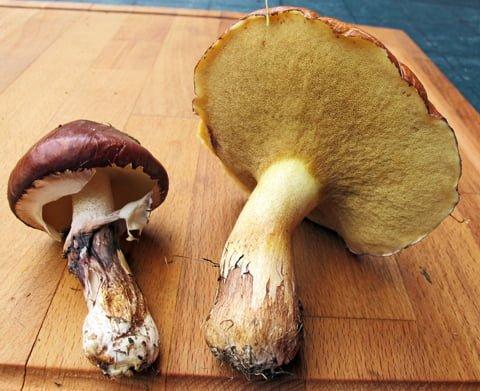 Butter mushroom