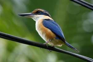 Collared Kingfisher - Birding treat adventure Package, Matava, Fij