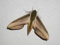 Sphinks Moth