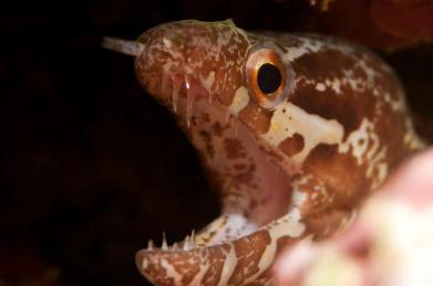 Eel, Kadavu, Fiji by Marty Snyderman