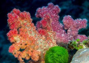 Matava Soft Corals 1