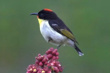 Orange-breasted Myzomela or Orange-breasted Honeyeater
