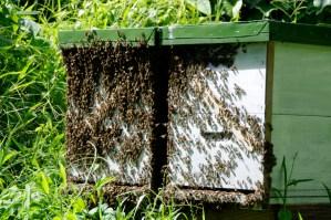 Organic Honey at Matava's organic garden