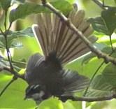 Kadavu Fantail