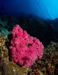 matava-purple-soft-corals