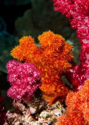 matava-soft-corals-2