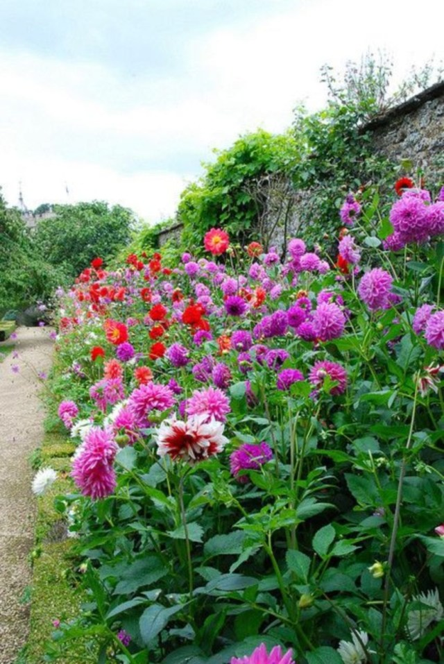 Walled garden with border of dahlias