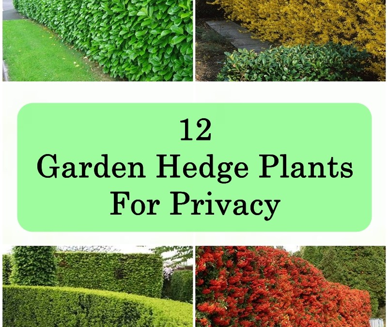 12 Garden Hedge Plants For Privacy