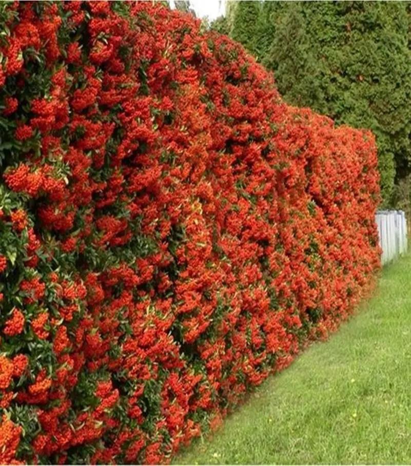Front garden hedge plants 10