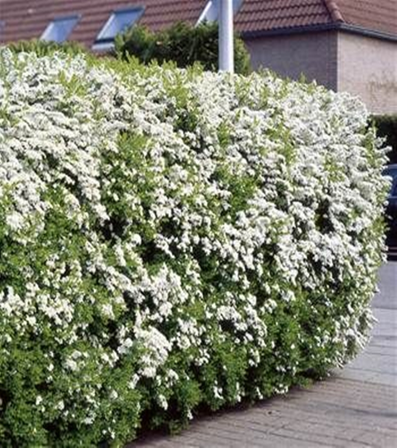Front garden hedge plants 12