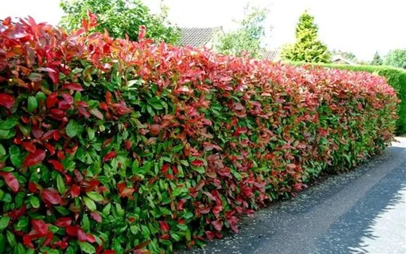 Front garden hedge plants 4