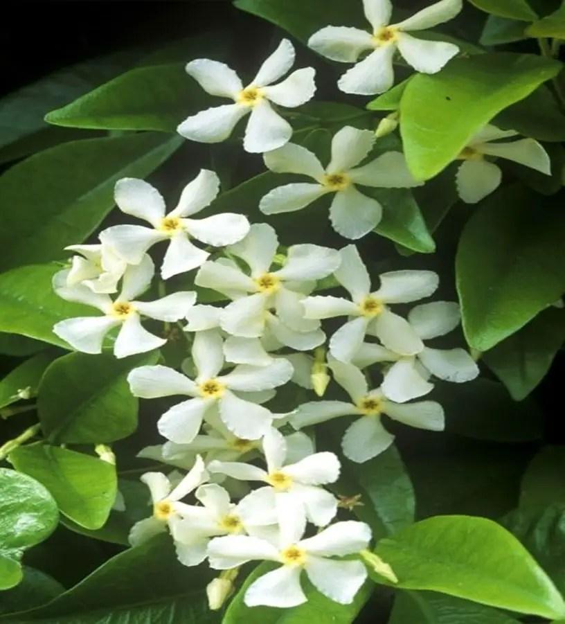 Fragrant flower 7