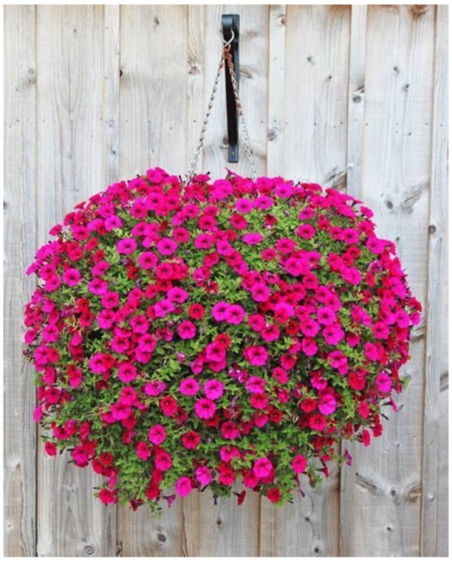 Petunia garden 7