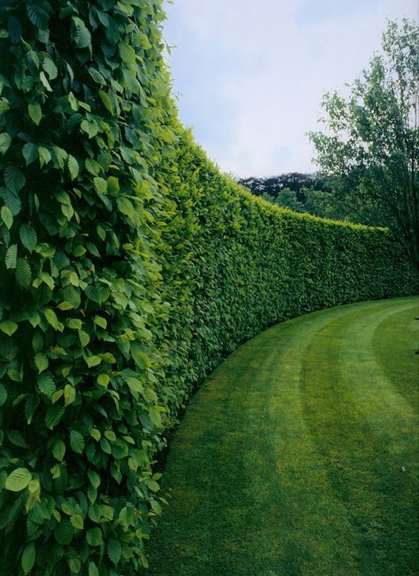 Boxwood plants living fence