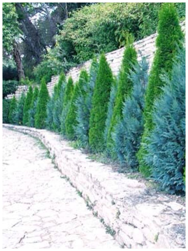 Junipers living fence
