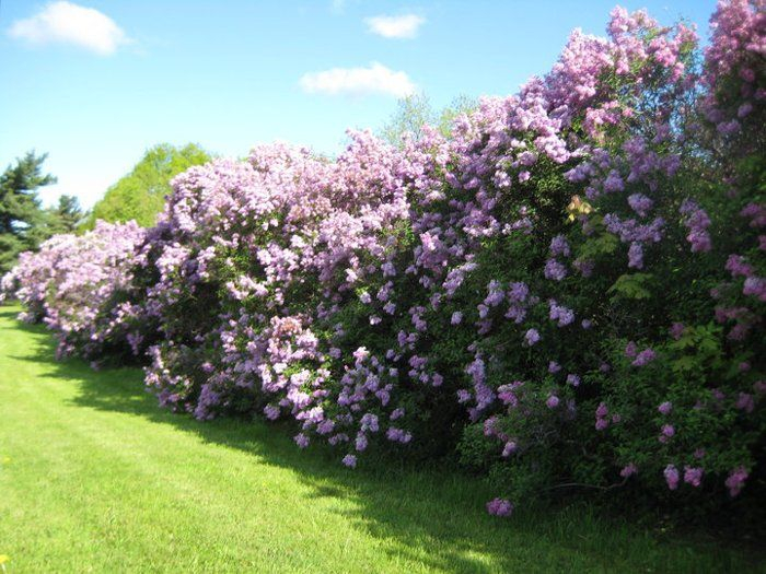Lilac living fence
