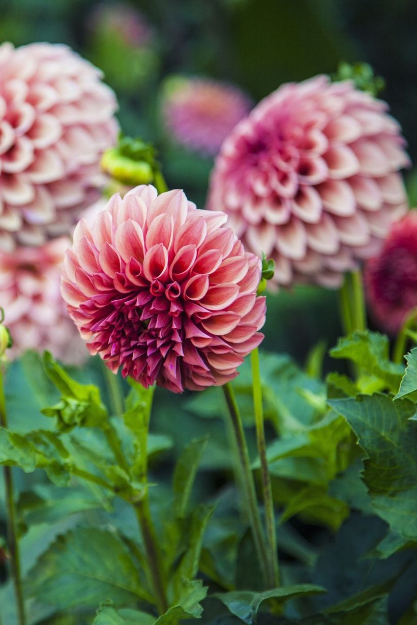 Dahlias-flowers-and-plants.-