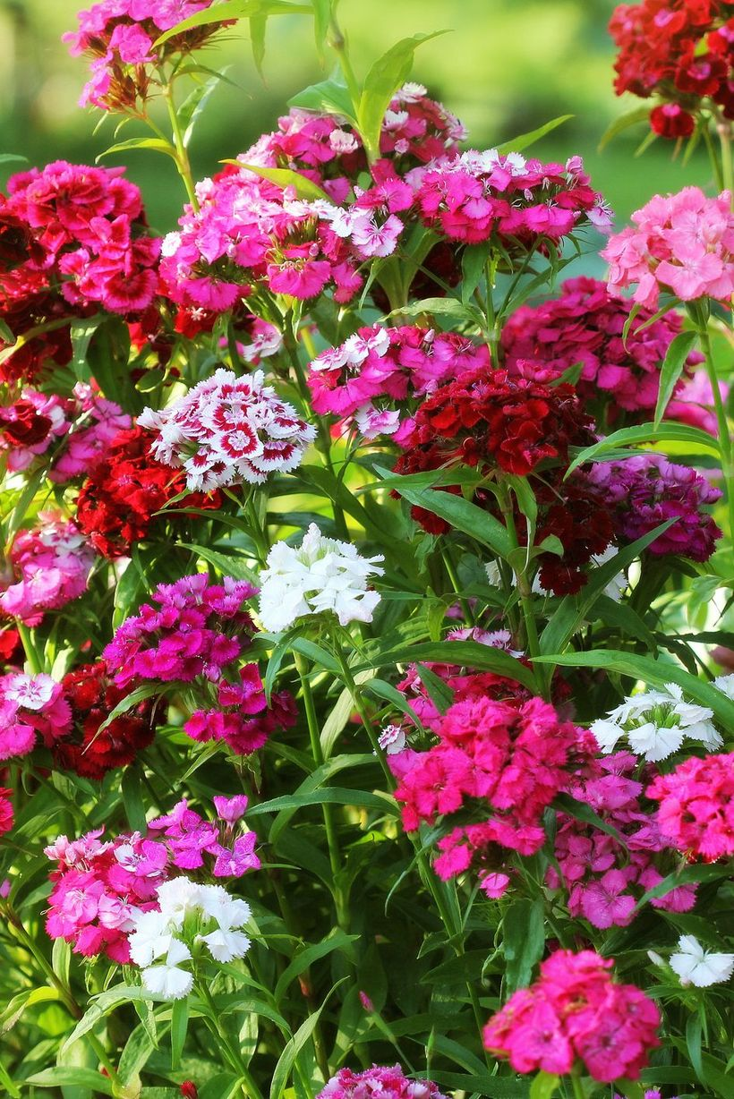 Dianthus-flowers-and-plants.-