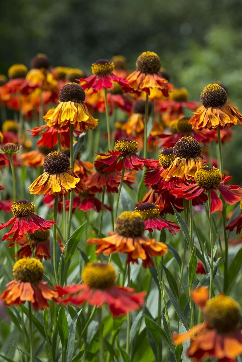 Helenium-reples-flowers-and-plants.-