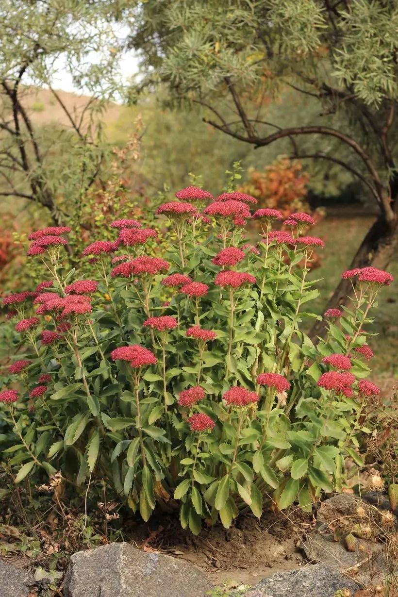 Sedum-joy-plants-and-flowers.-